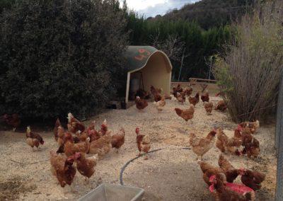 pollos2